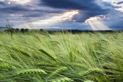 ED purchased wheat fields