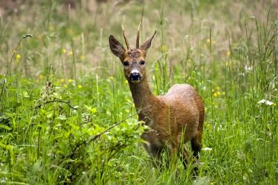 Deer by dan